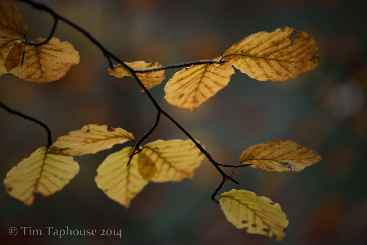 Autumn leaves in Twinberrow Woods