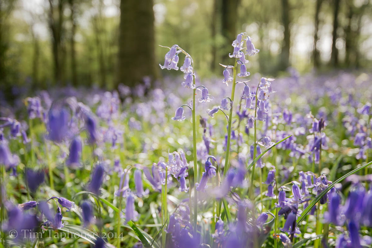 Bluebells in Twinberrow Wood