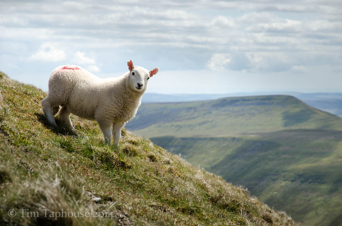 Spring lamb, Black Mountains